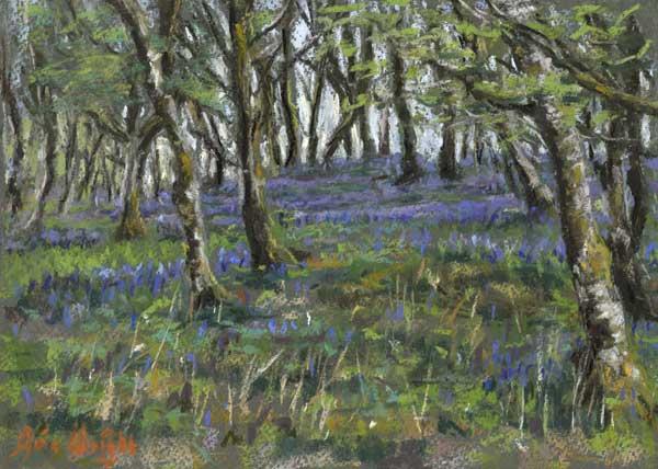 Bluebells amongst moss covered birch trees