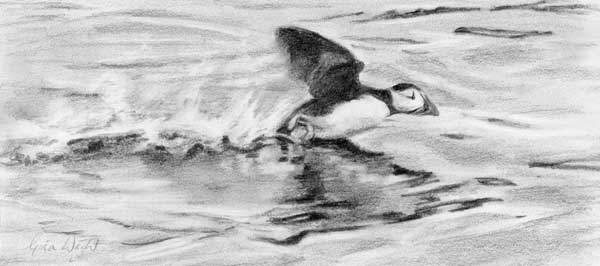 Study for Puffin Takeoff, Pencil