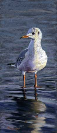 Black headed gull standing in water with the sun lighting the plumage